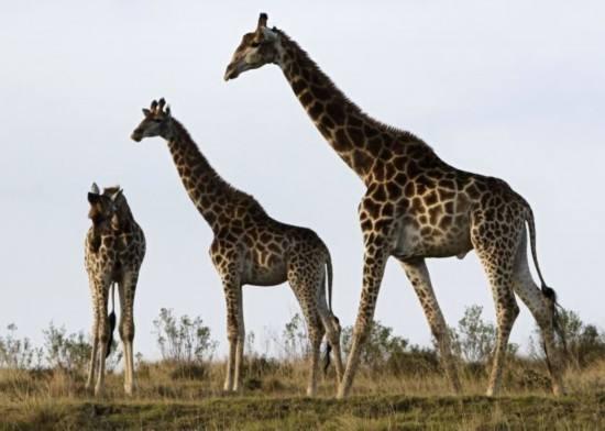 世界最高长颈鹿