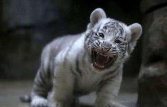 超级小老虎