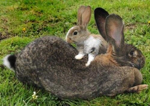 世界上最大的兔子