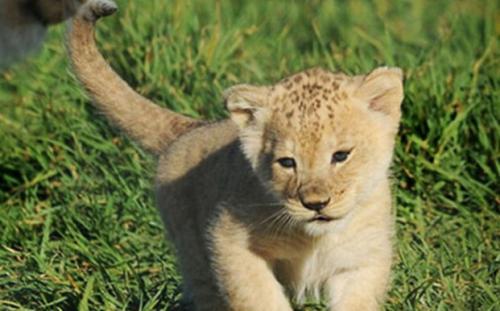 小狮子爱尔莎续写