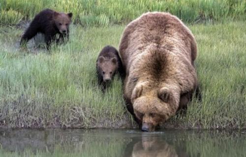 棕熊妈背宝宝过河